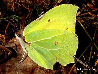 citronfjäril Gonepteryx rhamni