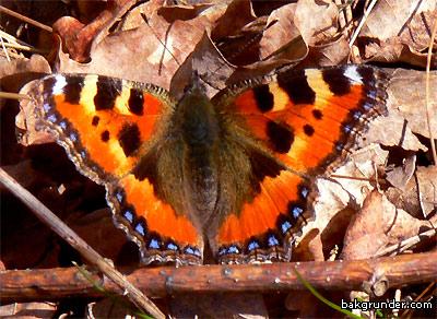 Nässelfjäril fotograferad den 16 Mars 2007
