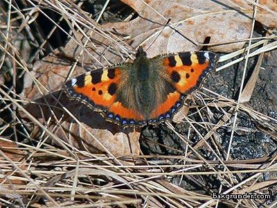 Nässelfjäril fotograferad den 25 februari 2008