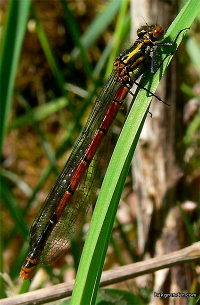 Röd flickslända Pyrrhosoma nymphula