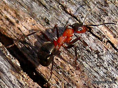 Röd skogsmyra Formica rufa