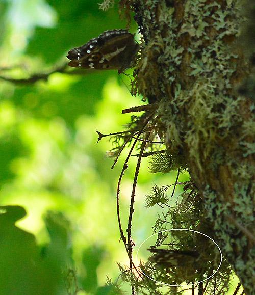 Sälgskimmerfjärilar på eken
