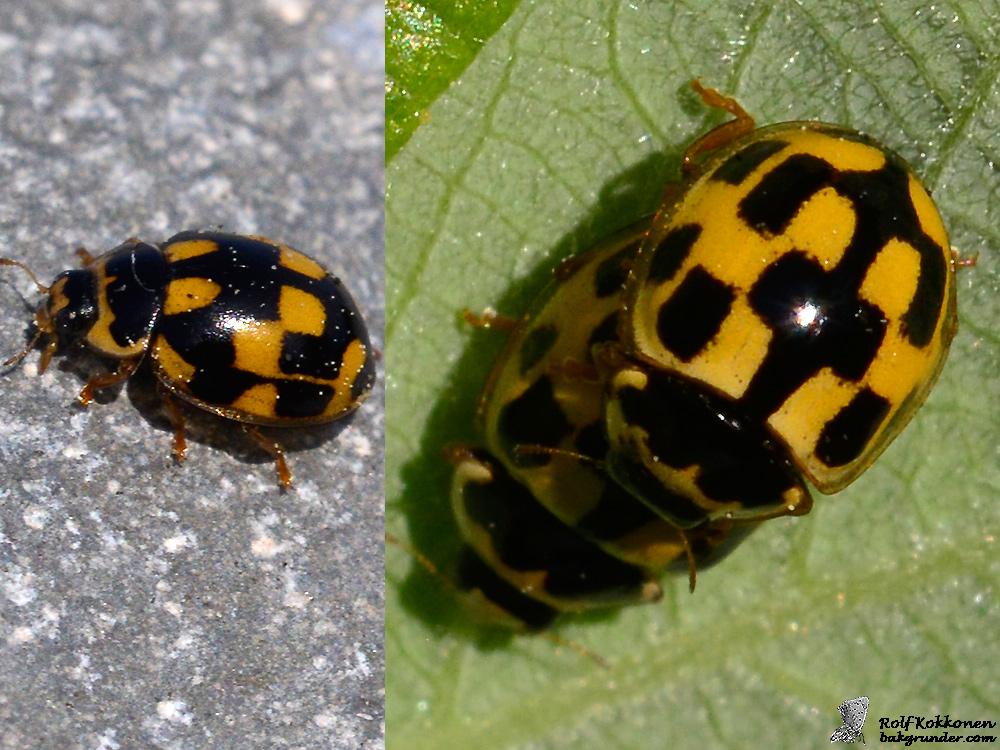 Schackbrädspiga Propylea quatuordecimpunctata