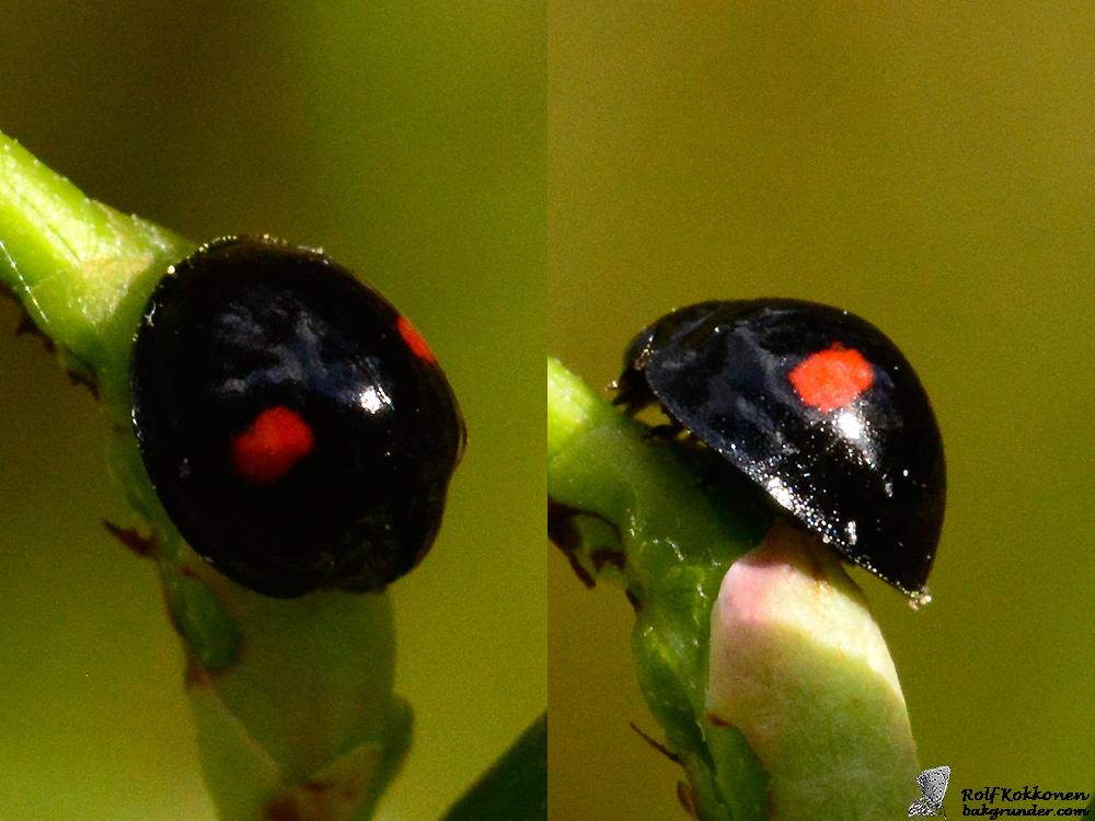 Tvåfläckig sköldluspiga Chilocorus renipustulatus