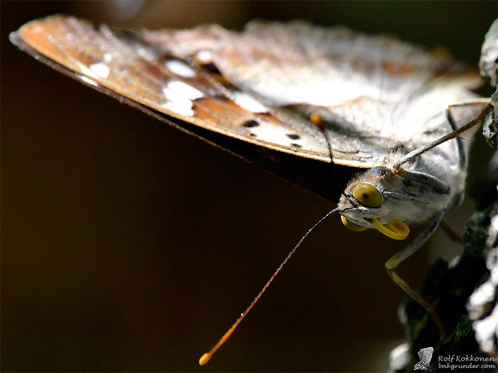 Aspskimmerfjäril Apatura ilia