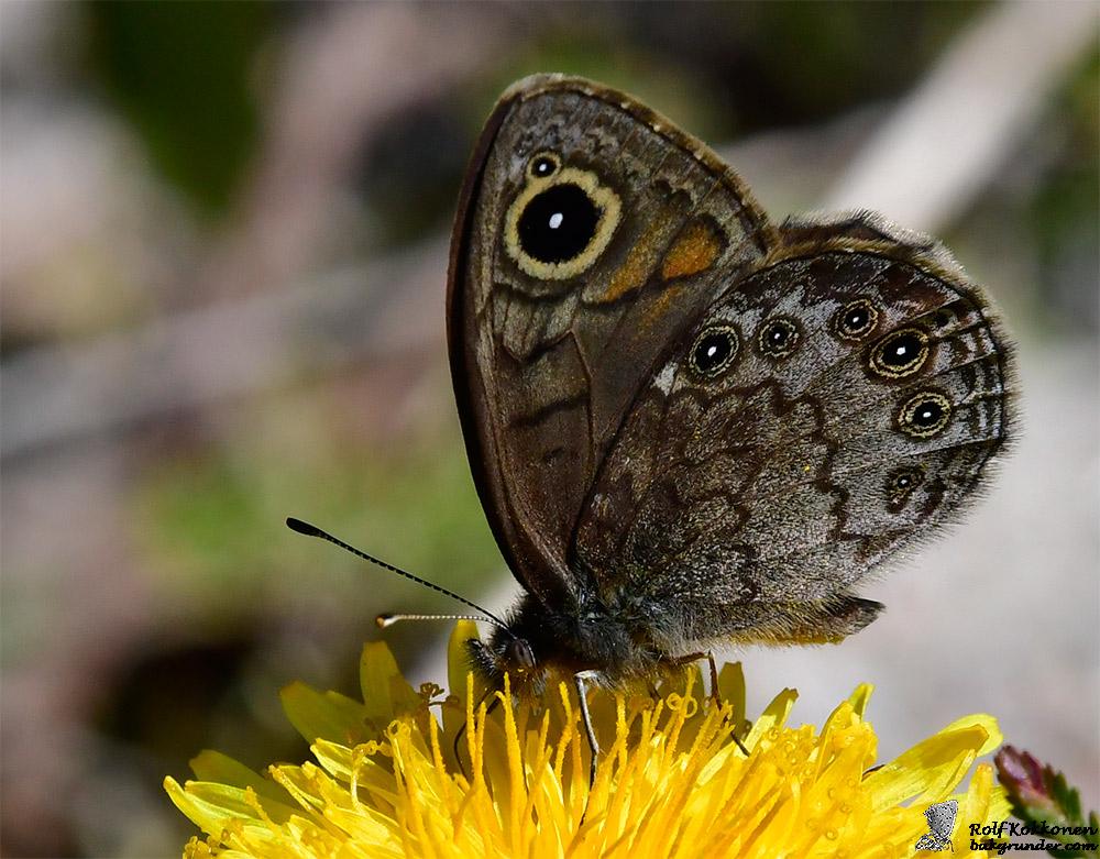 Berggräsfjäril Lasiommata petropolitana