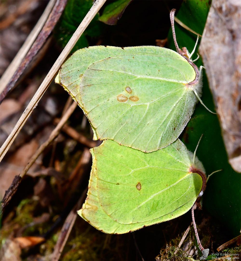 Citronfjärilar parning 2019