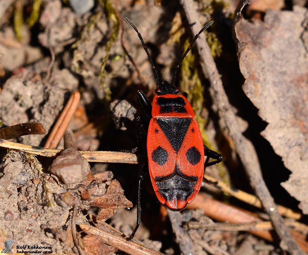 Eldlus Pyrrhocoris apterus