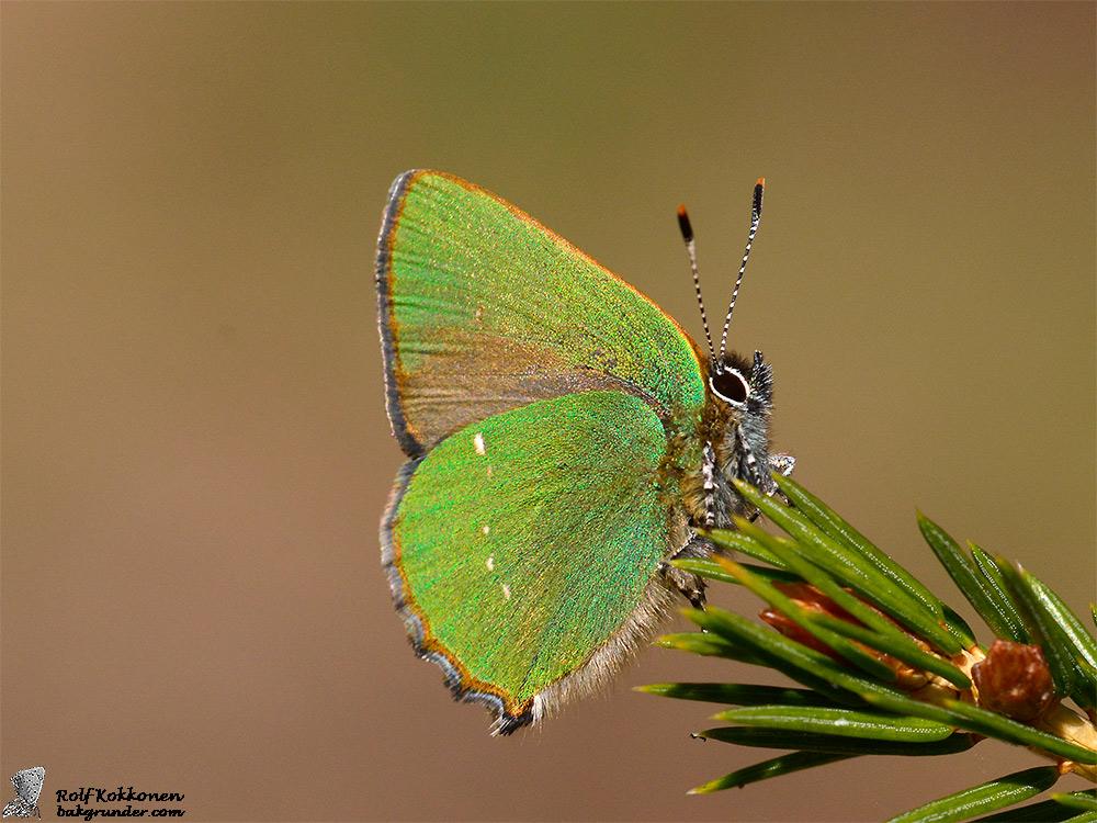 Grönsnabbvinge Callophrys rubi