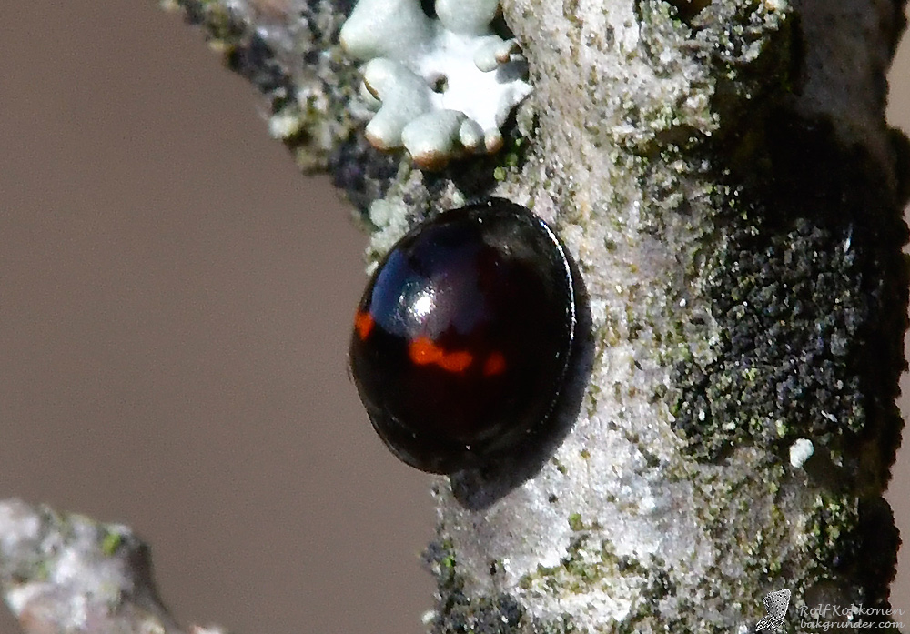 Hednyckelpiga Chilocorus bipustulatus