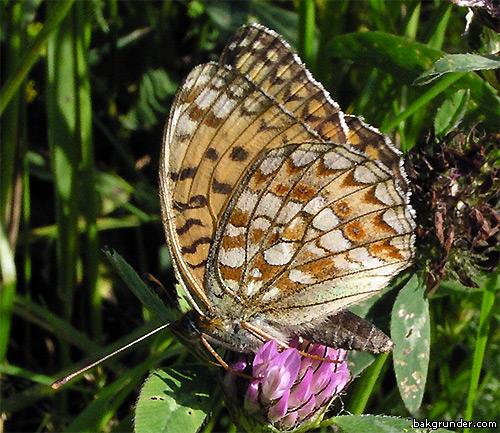 Hedpärlemorfjäril Argynnis niobe eris med silverfläckar