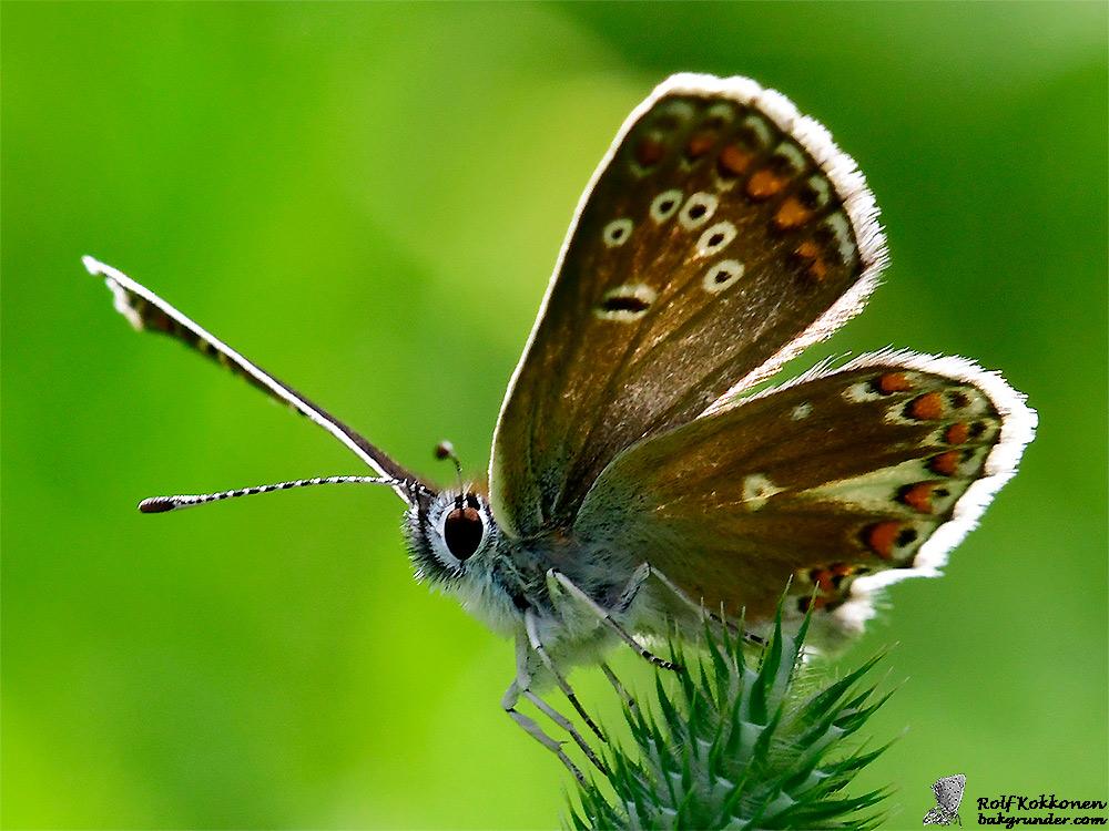 Midsommarblåvinge Aricia artaxerxes utan kolontecken