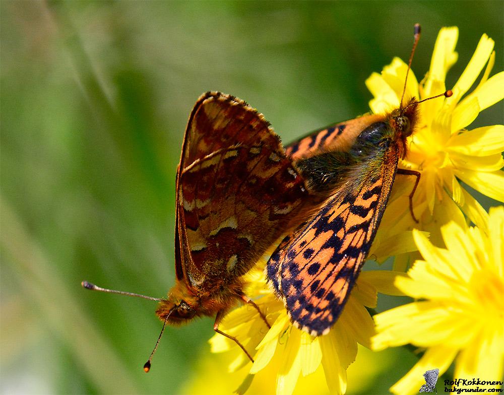 Myrpärlemorfjäril Boloria aquilonaris