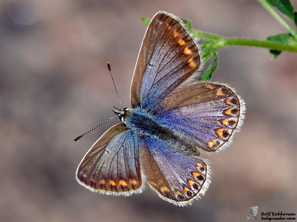 Puktörneblåvinge Polyommatus icarus – Hona