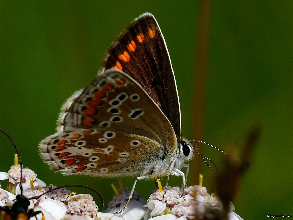 Rödfläckig blåvinge Aricia agestis