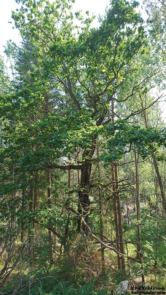 Eken är en samlingsplats för parande sälgskimmerfjärilar.