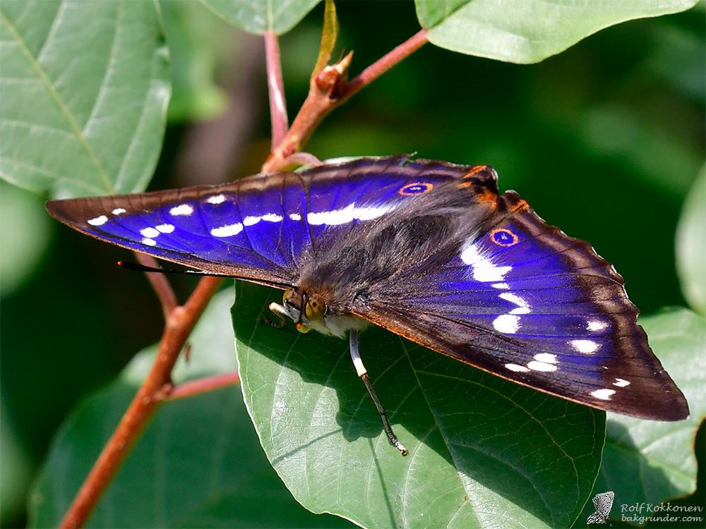 Sälgskimmerfjäril Apatura iris