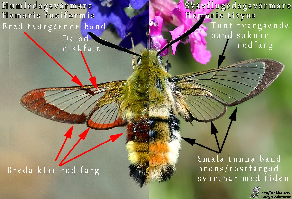 Vad är skillnaden mellan en Humledagsvärmare och Svävflugedagsvärmare?