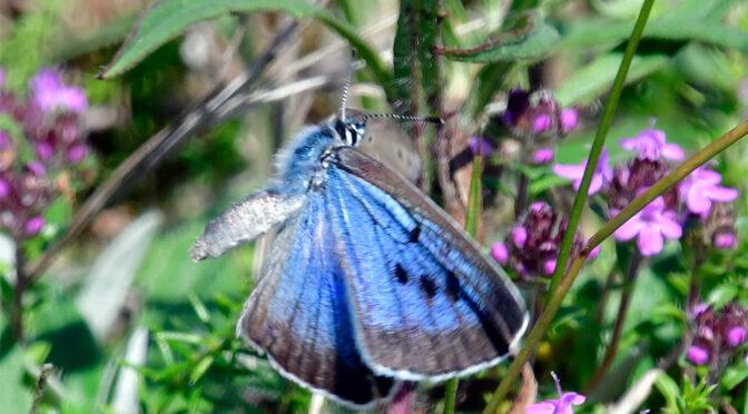 Svartfläckig blåvinge Maculinea arion