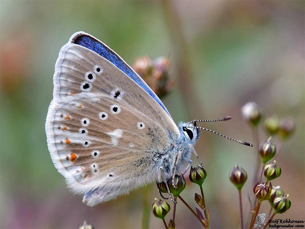 Väpplingblåvinge Polyommatus dorylas Hane