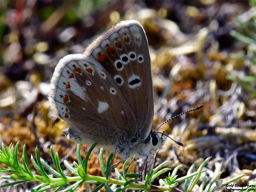 Väpplingblåvinge Polyommatus dorylas