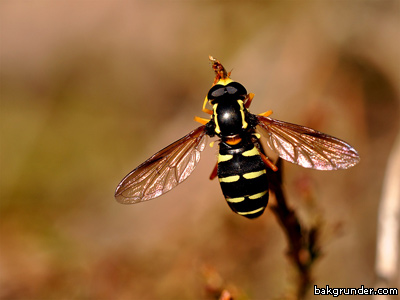 Blomfluga Sericomyia silentis