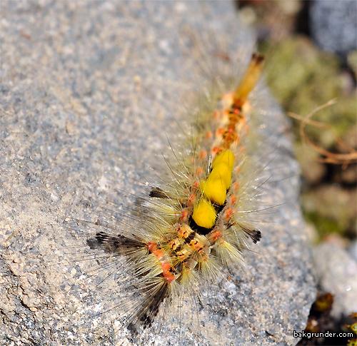 Aprikostofsspinnare Orgyia antiqua