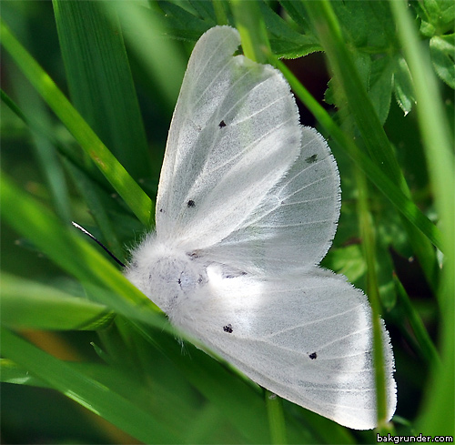 Grå tigerspinnare Diaphora mendica