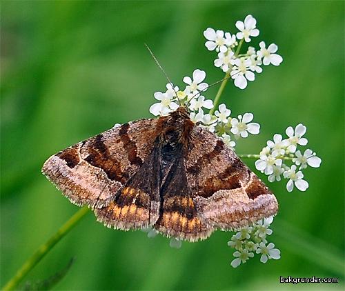 Gulbrokigt slåtterfly Euclidia glyphica