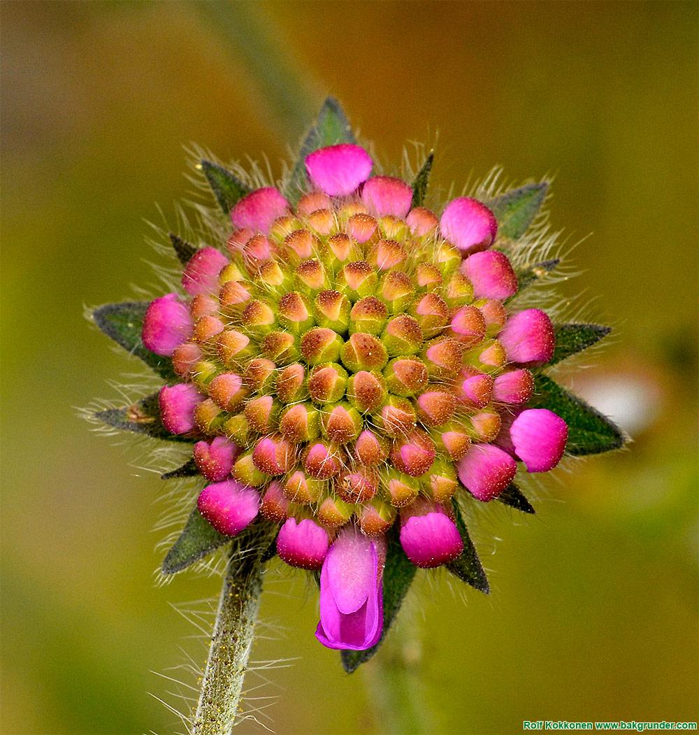 Åkervädd (Knautia arvensis)