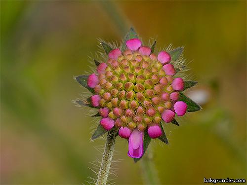 Åkervädd Knautia arvensis