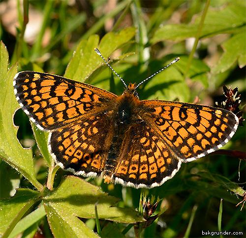 Ängsnätfjäril Melitaea cinxia