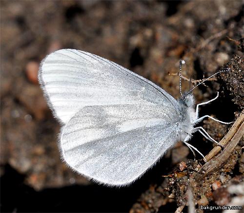 Ängsvitvinge 2014  Leptidea reali