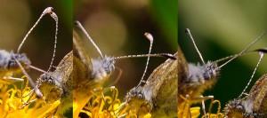 Parningsspel Ängsvitvinge Leptidea reali