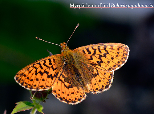 Arttypisk bild på en fjäril