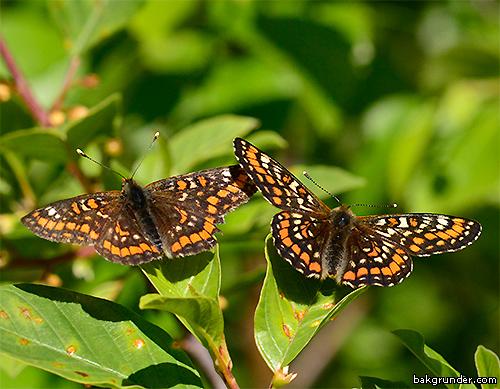 Asknätfjäril Euphydryas maturna Hanar