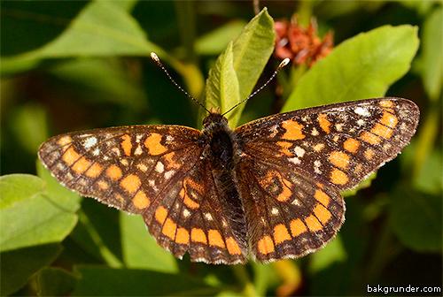 Asknätfjäril Euphydryas maturna Hane