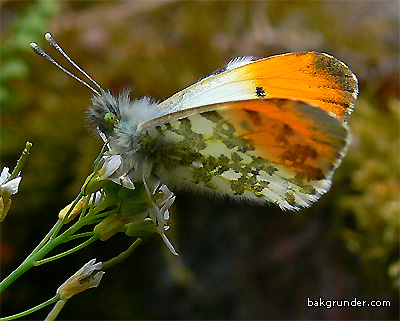 Aurorafjäril Anthocaris cardamines