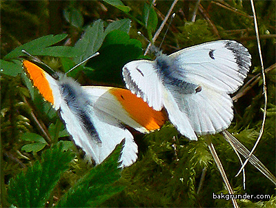 Aurorafjärilar Anthocaris cardamines