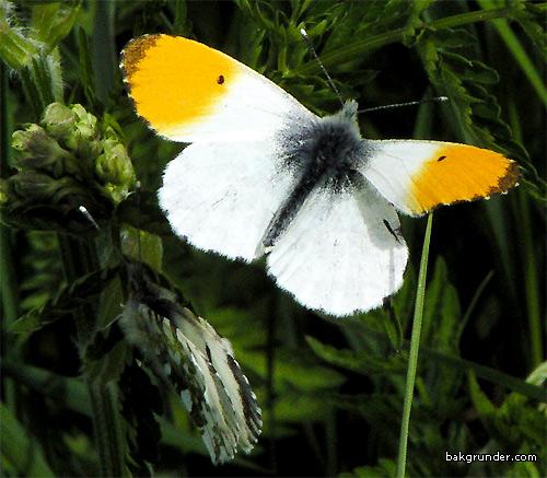 Aurorafjärilar