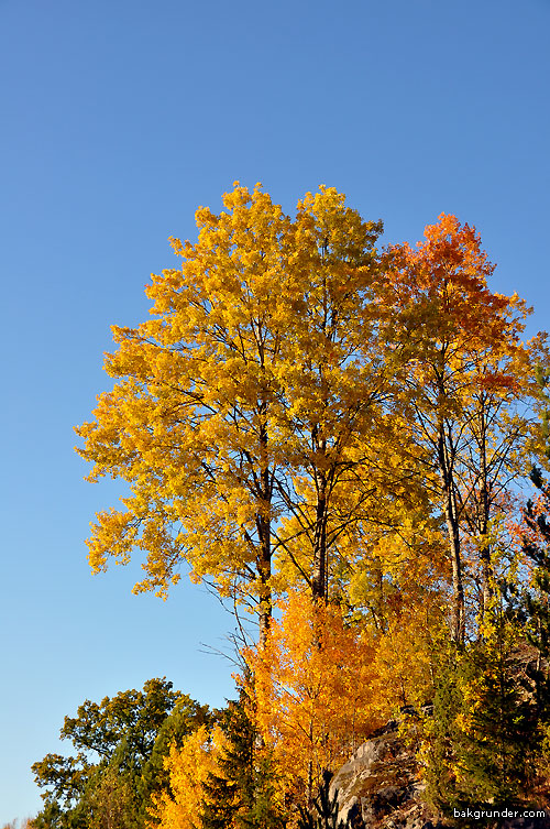 Gyllene höstträd