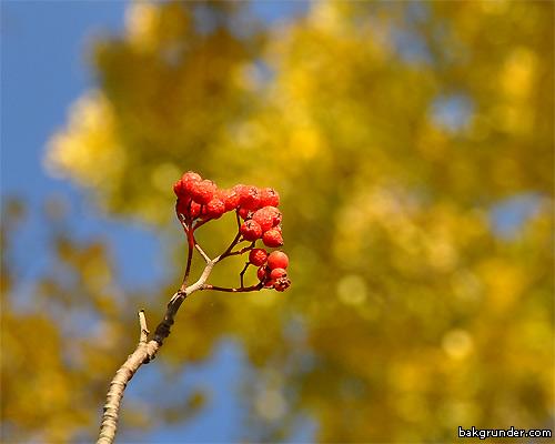 Höstens rönnbär