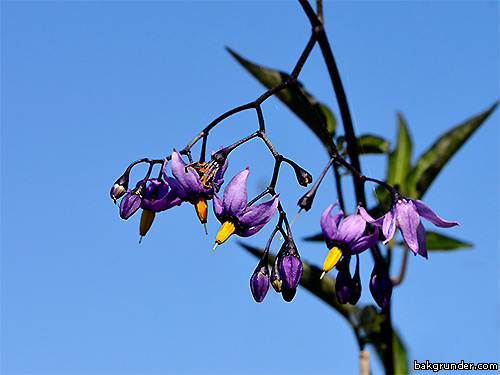 Besksöta Solanum dulcamara