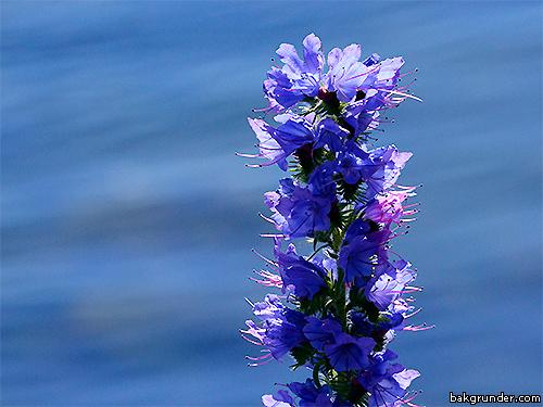 Blåeld Echium vulgare