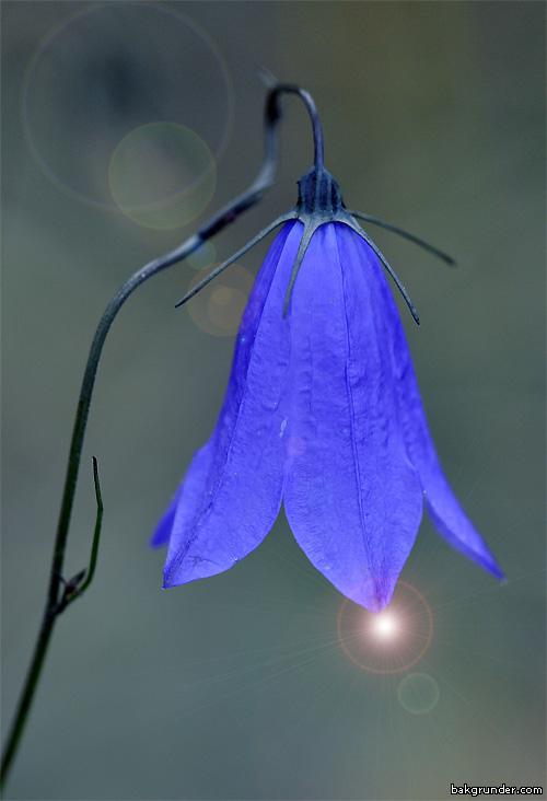 Blåklocka Campanula persicifolia