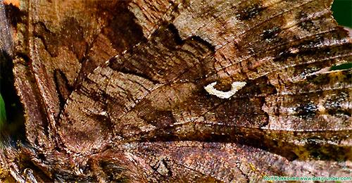 Vilken fjäril är det här? För en större bild klicka på bilden.