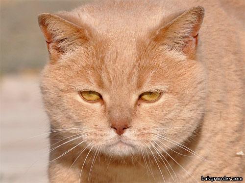 Brittiskt Korthår Katt