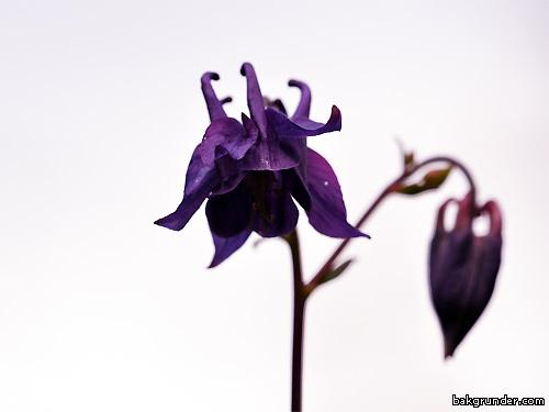Akleja Aquilegia vulgaris