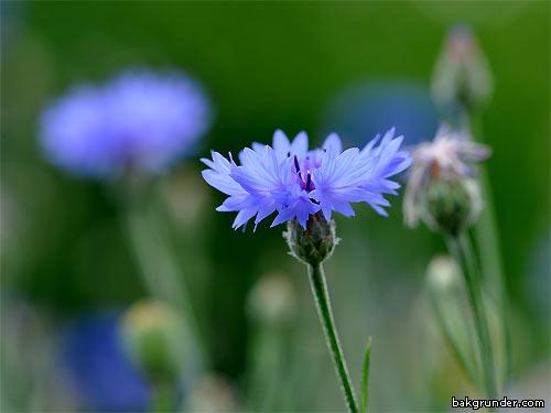 Blåklint Centaurea cyanus