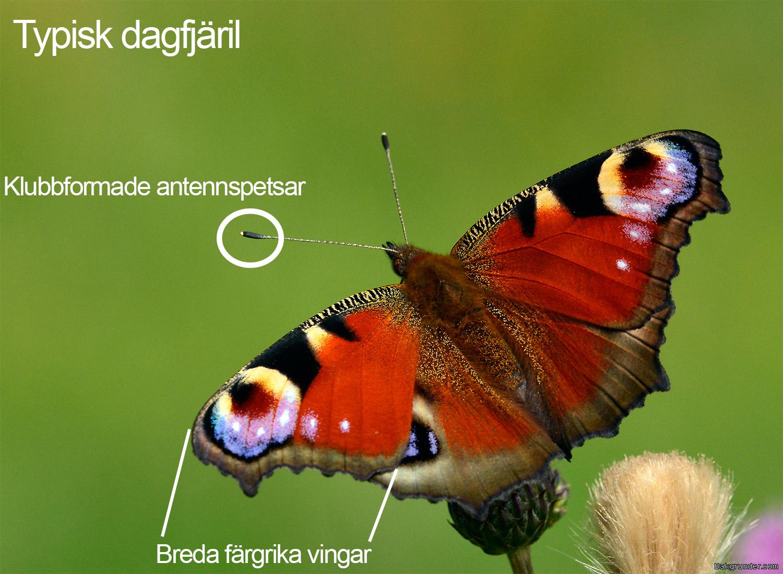 Dagfjäril